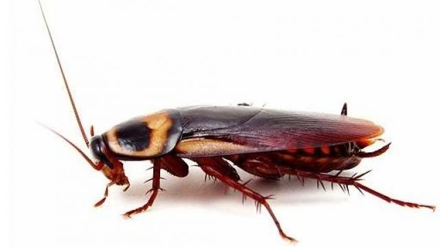 Hamam Böceği Hastalığa Neden Olur mu?