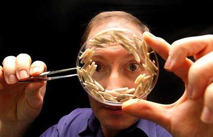 Maggot Terapisi: Sinek Larvaları İyileşmeyen Yaralara Çare Oluyor.