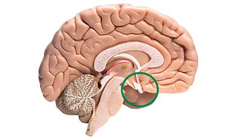Hipofiz Bezinin Görevi Nedir? Ön ve Arka Hipofiz Bezinden Salgılanan Hormonlar Nelerdir?