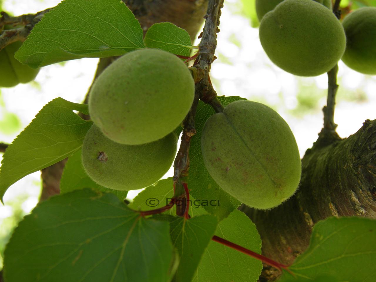 Çağla Meyvesinin Sağlığımıza Bilinen Yararları