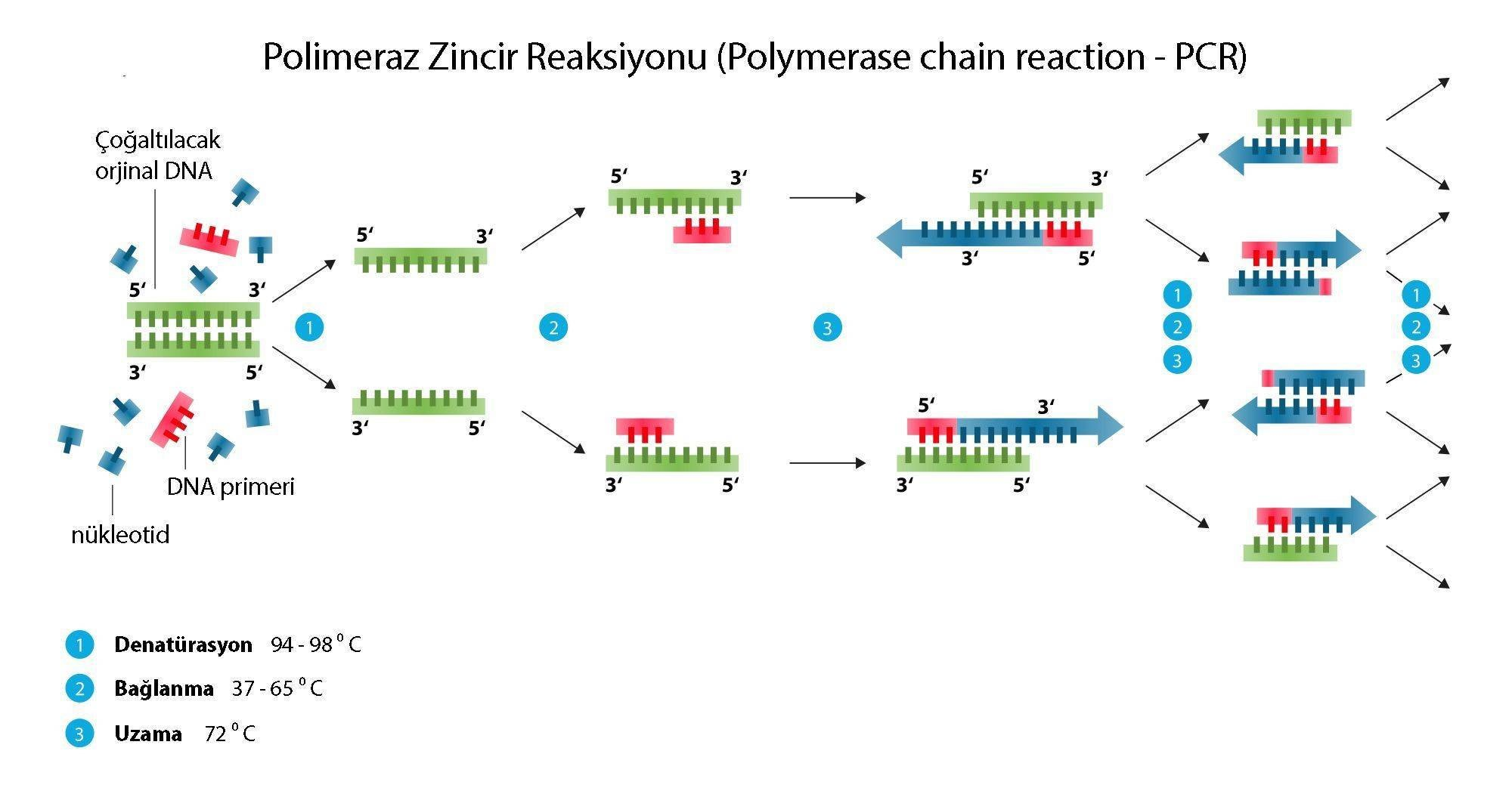 PCR Testi: PCR Analizi- Polimeraz Zincir Reaksiyonu Nedir?