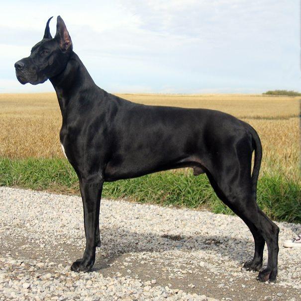 Great Dane Köpek Cinsinin Sağlık Sorunları