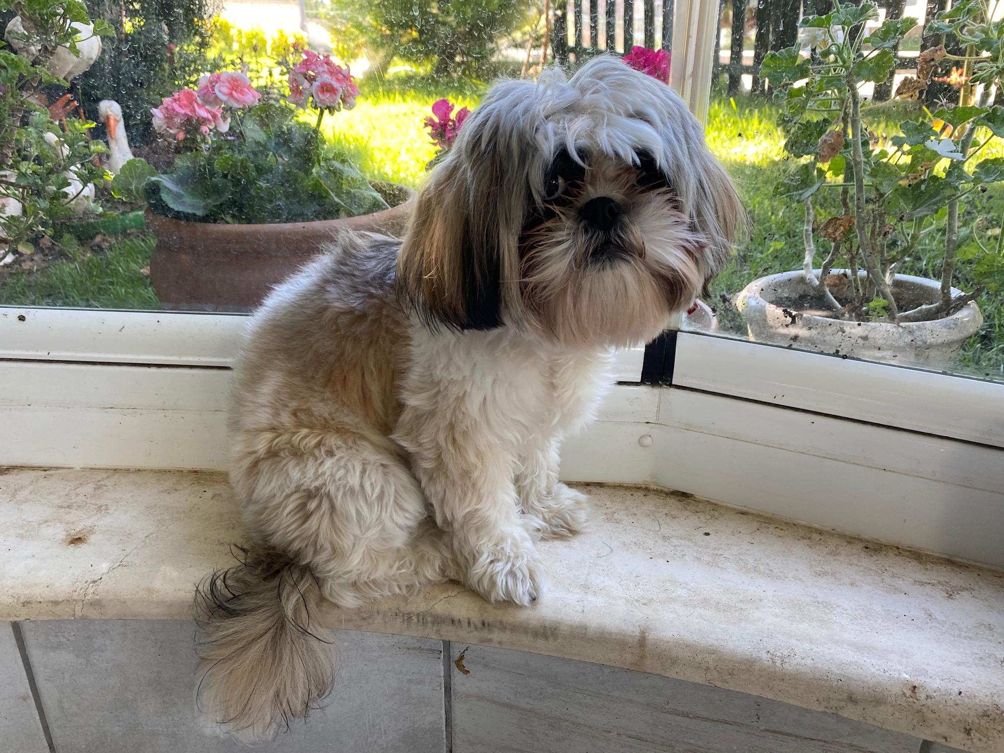 Shıh Tzu (Şitsu) Cinsi Köpeklerde Görülen Maruz Kalma Sendromu