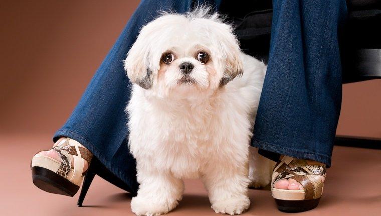 SHIH POO Cinsi Köpeklerde Görülen Sağlık Sorunları