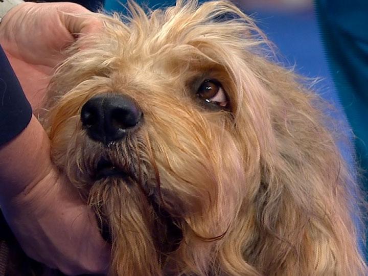 Otterhound Cinsi Köpeklerde Görülen Sağlık Sorunları